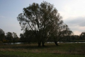 The old willow by the water