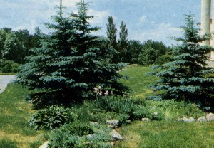 Coniferous (a fir-tree blue) on a stony hill.