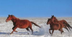 Don-Mustangs auf der Wodny-Insel