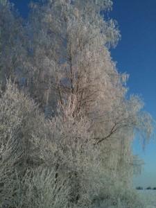 Birch hoarfrost.