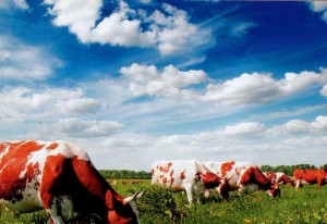 Graze cows.