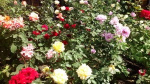 Rose the most popular flowers in the resorts