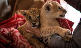 Two lion cubs discovered in Moscow's