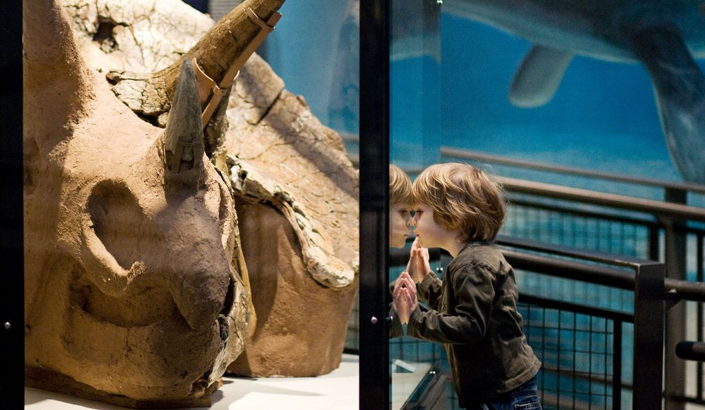 While <i>T. rex</i> will be the center of attention at Seattle's Burke Museum this year, there's plenty to see besides. Here, a young visitor inspects a massive <i>Triceratops</i> skull.